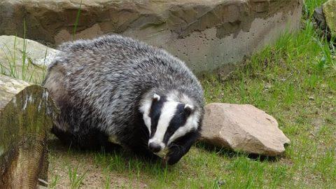 Badger - photo: Pixabay