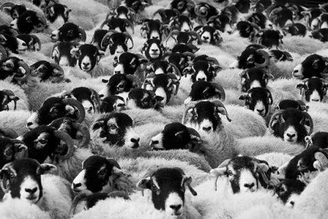 Flock of sheep - image: PIxabay