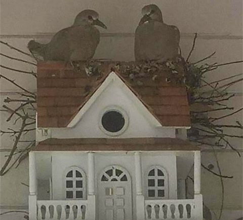Two doves nesting: photo - Jane Cunningham