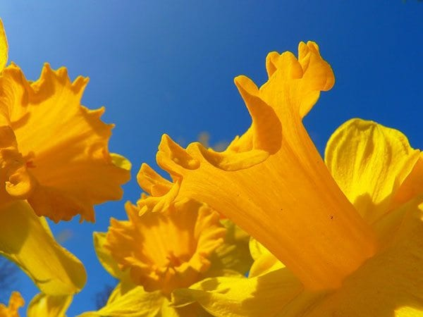 Daffodils - photo: Pixabay.com