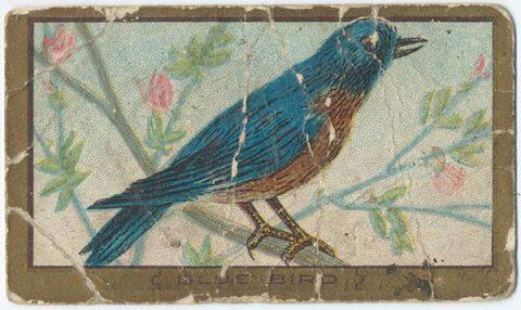 Blue bird - image: nypl