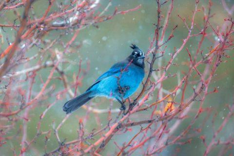 Blue mohican bird - photo: Unsplash.com