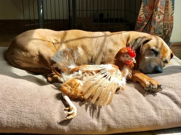 British Hens Welfare Trust