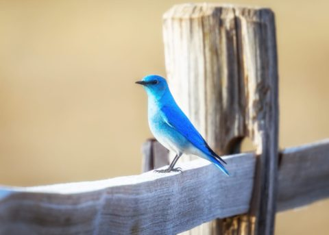 A blue bird on a fence - photo: Unsplash