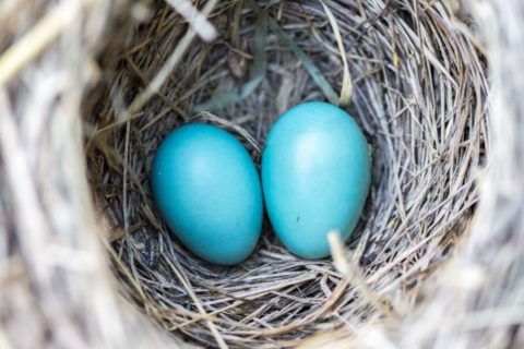 Two blue eggs in a nest