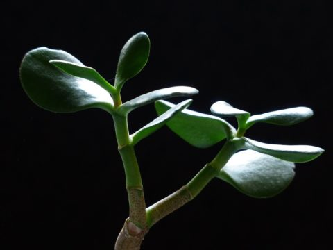 Money plant on black background - photo: Pixabay.com