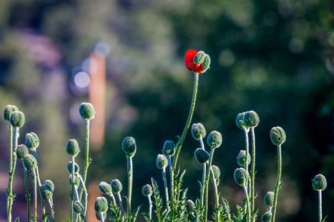 Single blooming red poppy in a field of poppies