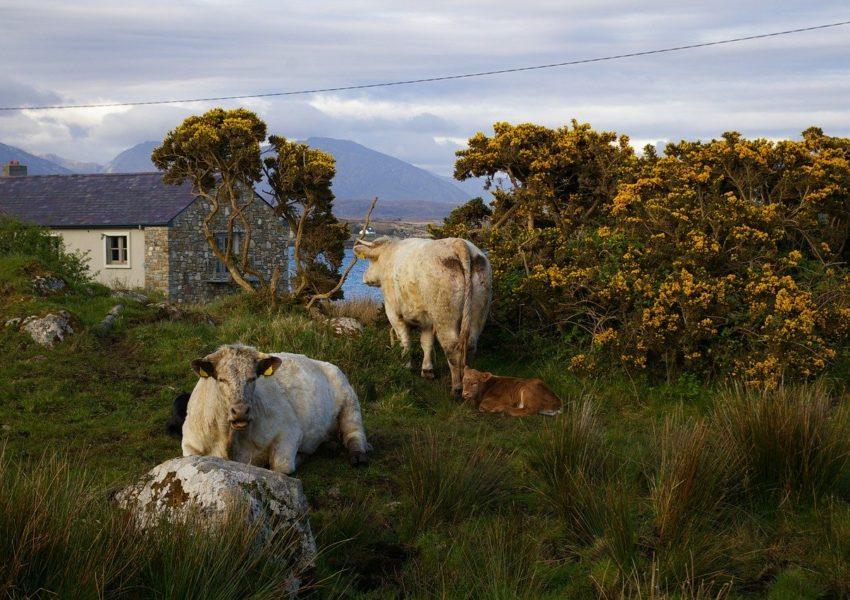 Cattle in rural Ireland - photo: Pixabay