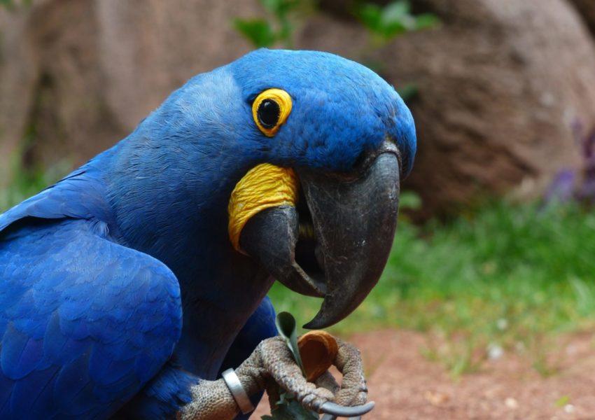 Blue parrot - photo: Pexels