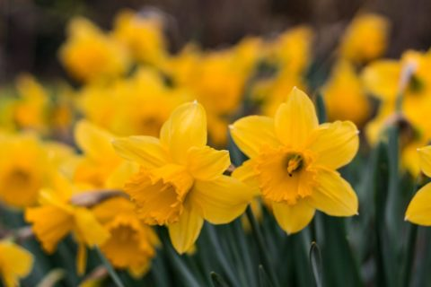 Daffodils - photo: Pexels