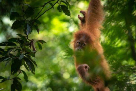orangutan in rainforest